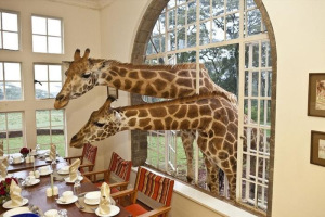 Giraffe morning treats
