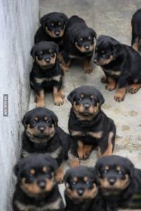 Rottie babies