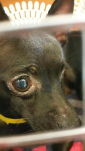 One-eye Cheri rescued from kill shelter