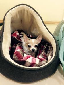 Paige- tiny Chihuahua saved from kill shelter