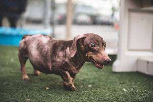 Carrot Cake has Cushings Disease and a slew of other age related problems BUT was rescued by Dachshund Paws and Pals- Southern California