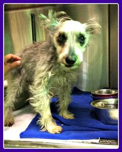 12 y:o male schnauzer rescued