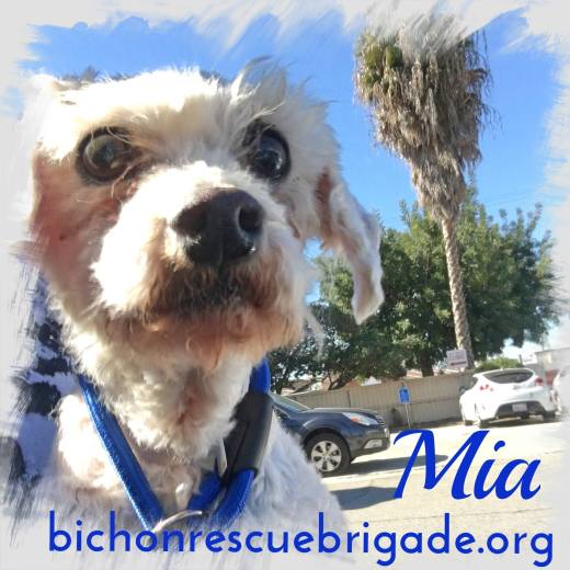 Mia's freedom photo-rescued by bichonrescuebrigade.org