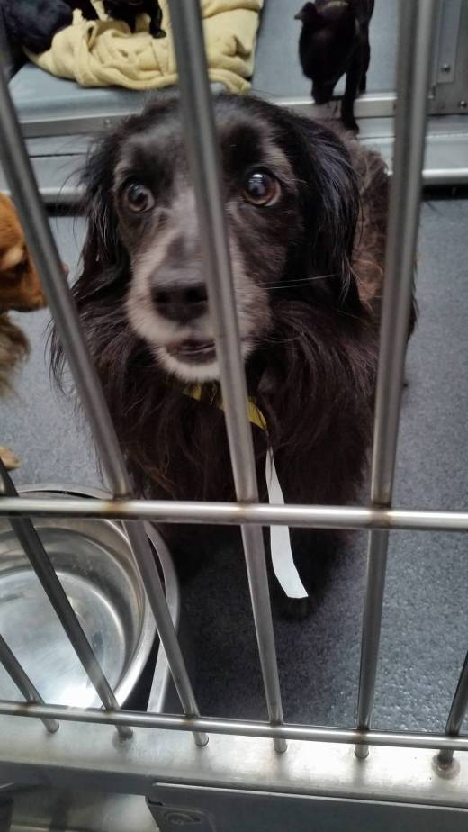 black-male-spaniel-mix-17-13429-from-downey-stuck-in-back-with-no-label-but-someone-found-him-with-our-rescue-group