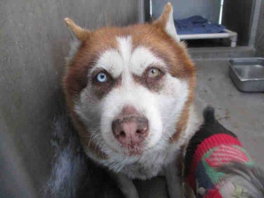 lady-siberian-husky-and-her-schnauzer-friend-bloo-boo-rescued-together