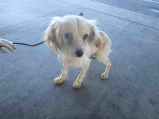 SHELTER ID #A1675790 female cooker  spaniel mix 3 years old 12 pounds PHOTO 2 before photo.jpg