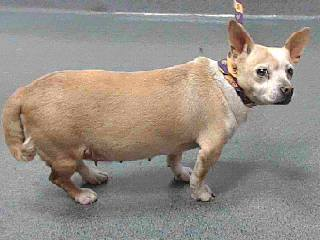 chloe-has-been-rescued-with-sibling-frankie-chloe-17-14724-tan-white-female-adult-dog-weighs-12-lbs-impounded-city-of-south-gate