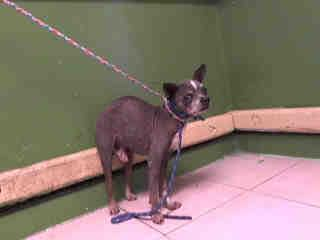 geordie-aka-ren-has-been-rescued-a5033595-aka-ren-has-been-rescued-8-year-old-mexican-hairless-from-carson-animal-care-center