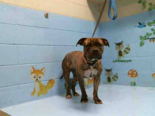 mikela-a470192-moreno-valley-ca-female-brown-brindle-and-white-pit-bull-terrier-the-shelter-thinks-i-am-about-3-years-old-has-been-rescued