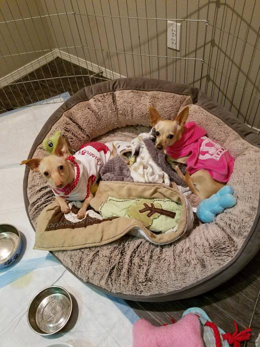 Bonded chi sisters clothed fed bedded in home sweet home