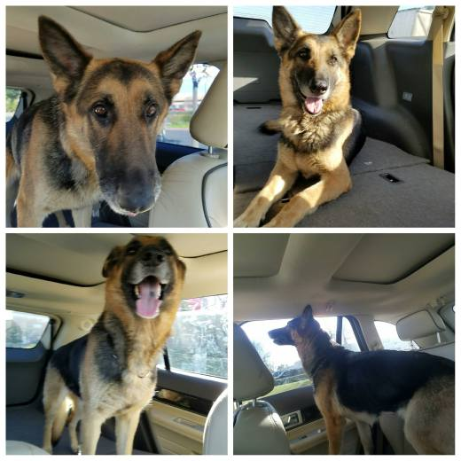 josie-a470223-moreno-valley-ca-female-black-and-tan-german-shepherd-dog-freedom-photo