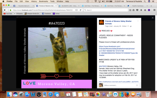 JOSIE #A470223 Moreno Valley CA Female black and tan German Shepherd Dog HAS BEEN RESCUED .png