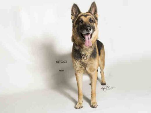 josie-a470223-moreno-valley-ca-female-black-and-tan-german-shepherd-dog