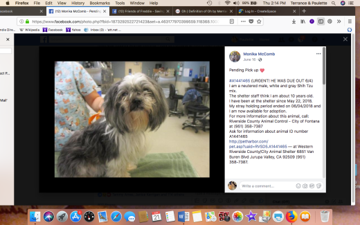gray shih tzu 1441465 rescued