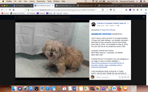 Lancaster CA - #A5175425 Male maltese named by Harley rescue