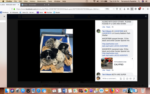 Cocker spaniel siblings rescued ID #A5267869 & ID #A5267870 Screen Shot 2019-04-16 at 3.28.23 PM