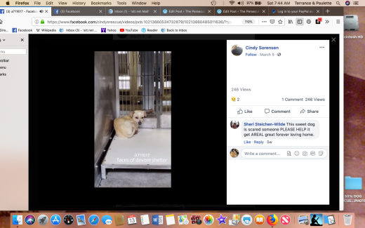 Male chi kennel photo Screen Shot 2019-04-13 at 7.44.41 AM